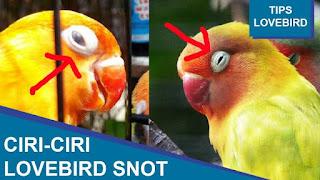 Cara mengobati lovebird snot