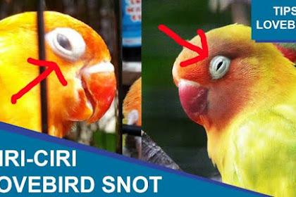 Obat yang Ampuh untuk Mengatasi Snot Pada Lovebird