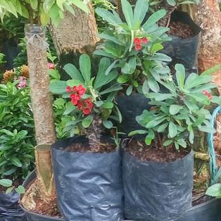 Jual Tanaman Hias Euphorbia Bunga Pink