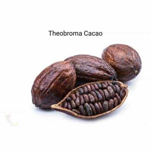 Kakao Natürel Absolite Yağ Theobroma Cacao1