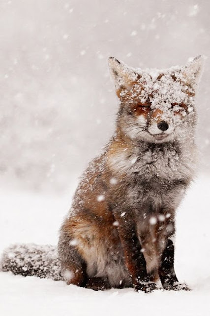 Beautiful winter scene with red fox in snow