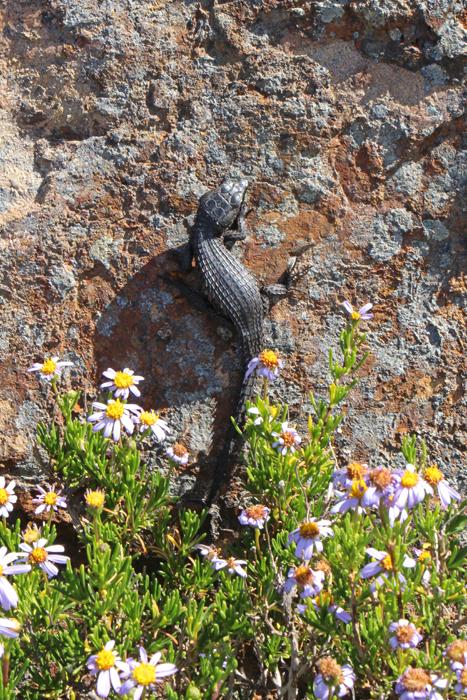 Agame in Südafrika am Kap der guten Hoffnung