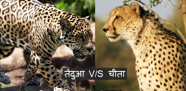 difference-between-leopard-vs-cheetah