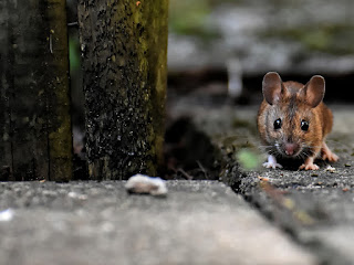 cara-mengusir-tikus.jpg