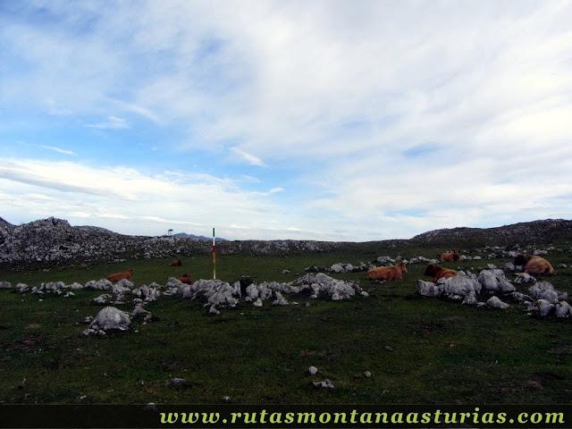 Circular Coañana Saleras: Pradera con vacas