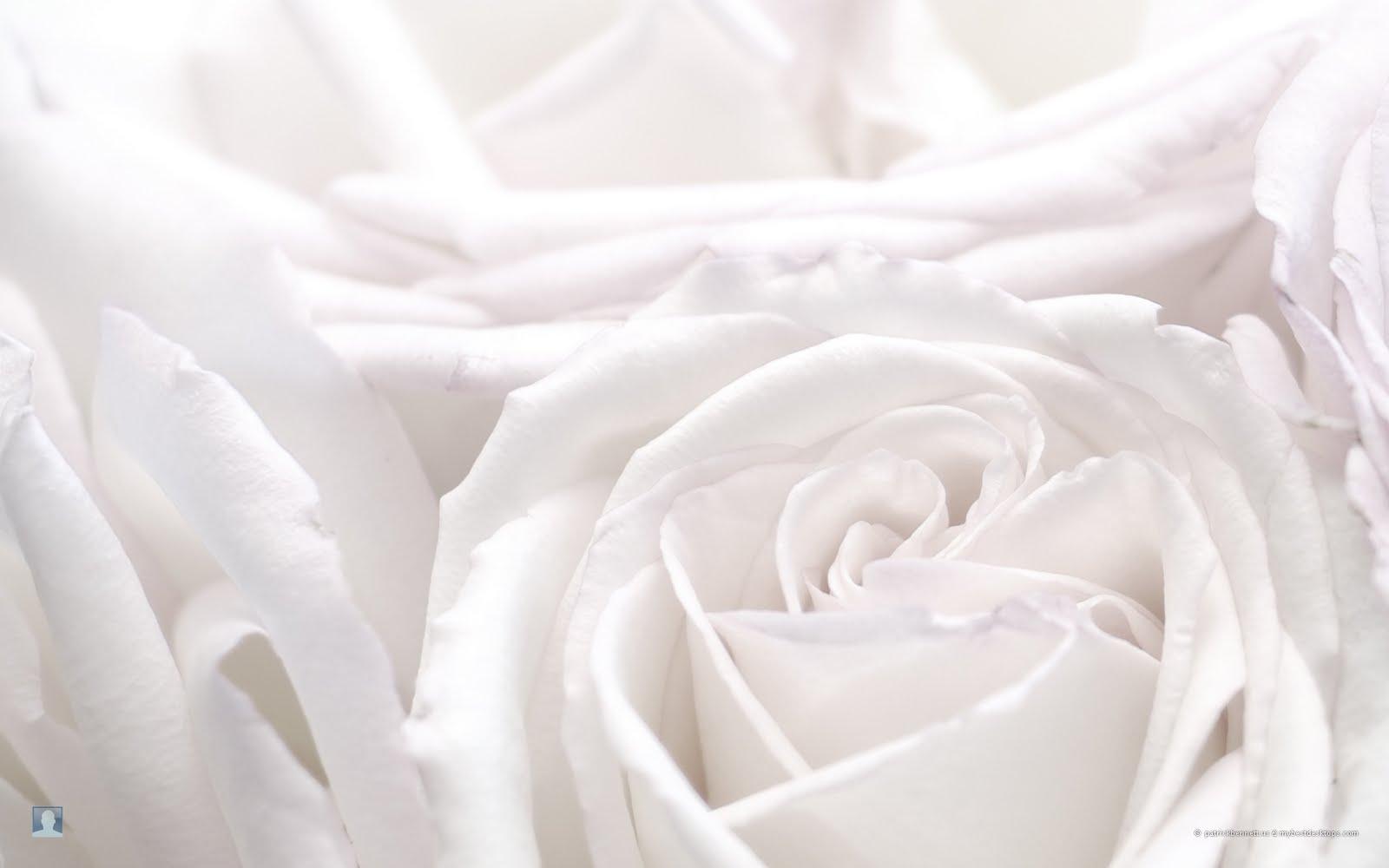 bloomed white roses wallpaper - photo #39