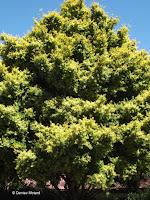 Podocarpus totara - Wellington Botanic Garden, New Zealand