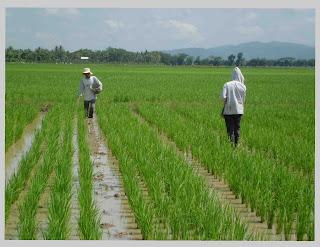 Tumbuhan padi