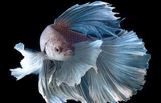 penetasan telur ikan cupang penetasan telur ikan cupang bertujuan untuk menetaskan telur ikan cupang cara menetaskan telur ikan cupang berapa hari penetasan telur ikan cupang cara mempercepat penetasan telur ikan cupang bagaimana proses penetasan telur ikan cupang bagaimana cara menetaskan telur ikan cupang cara cepat menetaskan telur ikan cupang terangkan proses terjadinya penetasan telur ikan cupang jelaskan tujuan penetasan telur pada pemijahan ikan cupang berapa lama proses penetasan telur ikan cupang cara penetasan telur ikan cupang