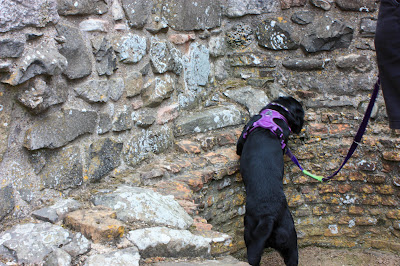 Liggy, a black labrador, exploring the brewery. She is up on her hind legs sniffing the wall.