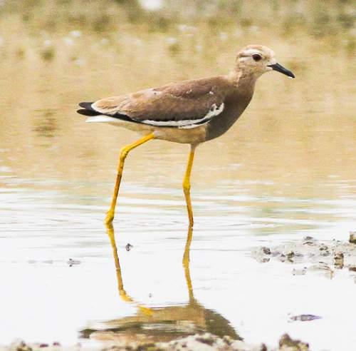 Indian birds - Image of White-tailed lapwing - Vanellus leucurus