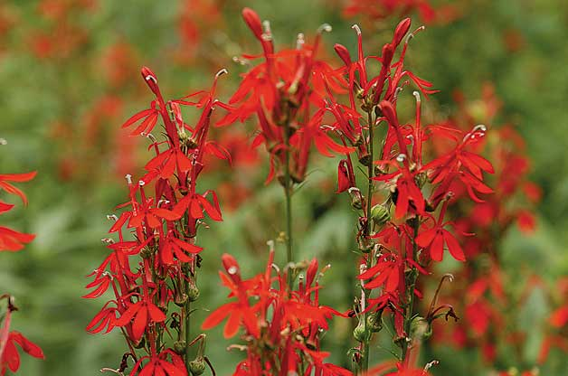 Top 10 Red Flowers that Attract Hummingbirds