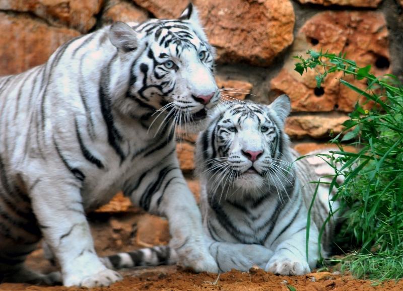 Gambar Harimau Lengkap