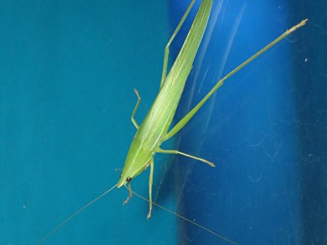 Euconocephalus pallidus