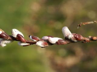Chaton de Saule à feuilles aiguës - Salix acutifolia