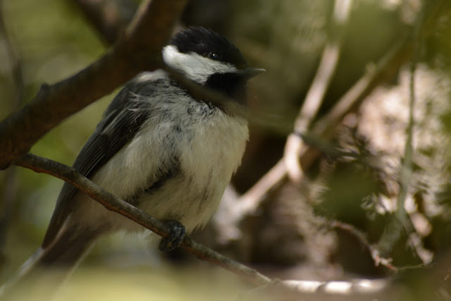 Black-capped Chickadee in Pembroke, Ontario Photo by Stacey McIntyre-Gonzalez
