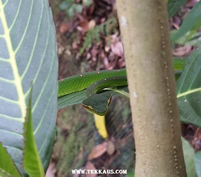 Wagler Pit Viper Snake Green The Habitat Penang