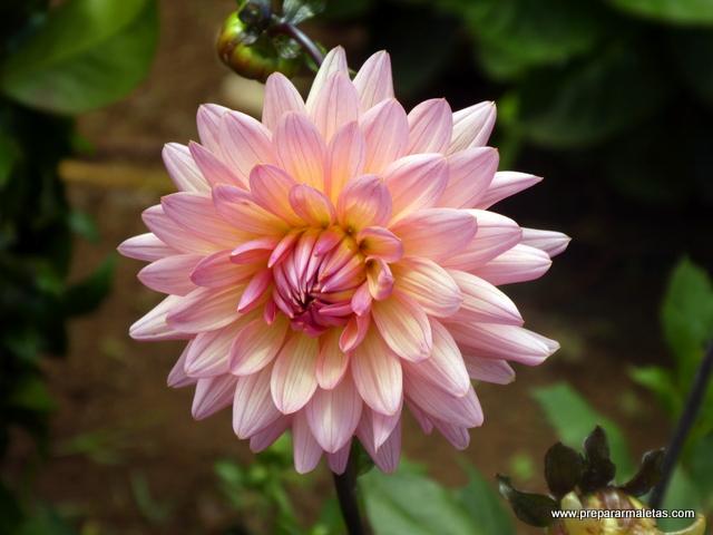 flores en las islas Azores