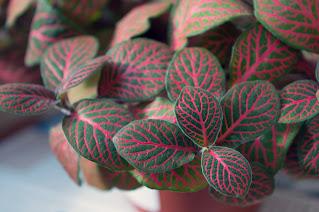 planta-fitônia-vermelha