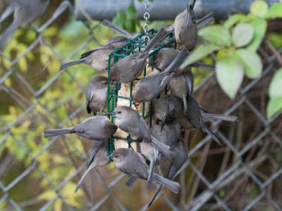 Photo of a large flock of Bushtits on a suet feeder