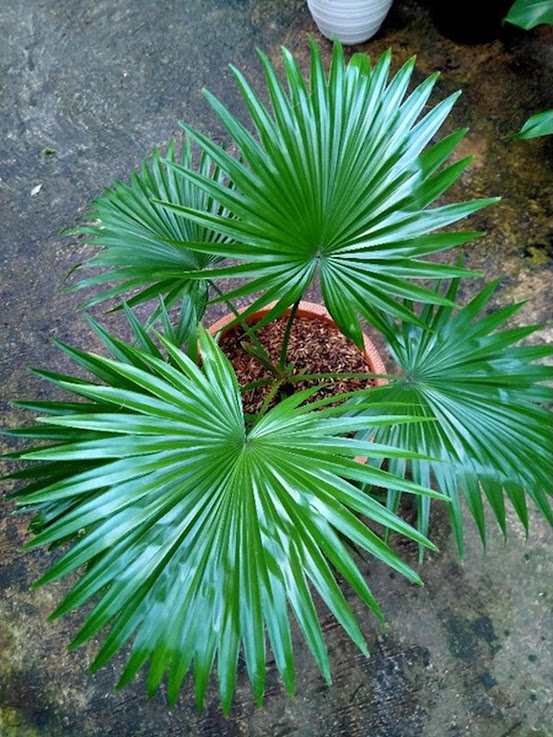 Tanaman hias bibit palm pohon palem kipas Lampung