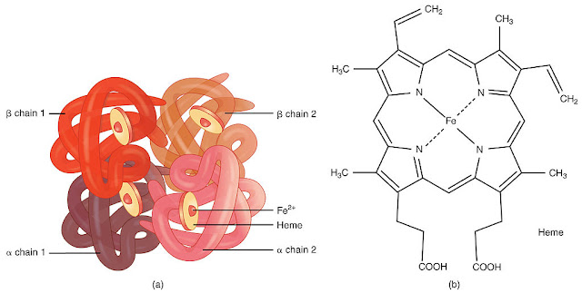 What is Hemoglobin