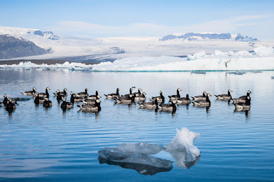 Birds of Iceland in Jokulsarlon glacier lagoon
