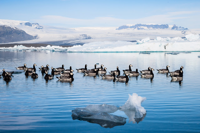 Birds of Iceland in Jokulsarlon glacier lagoon