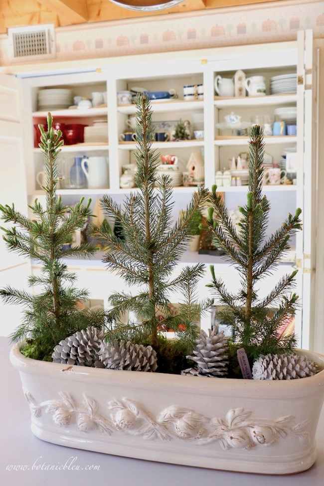 Christmas to winter decor with live spruce seedlings on kitchen island