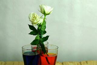nhộm màu hoa hồng để cho hoa hồng có màu đen