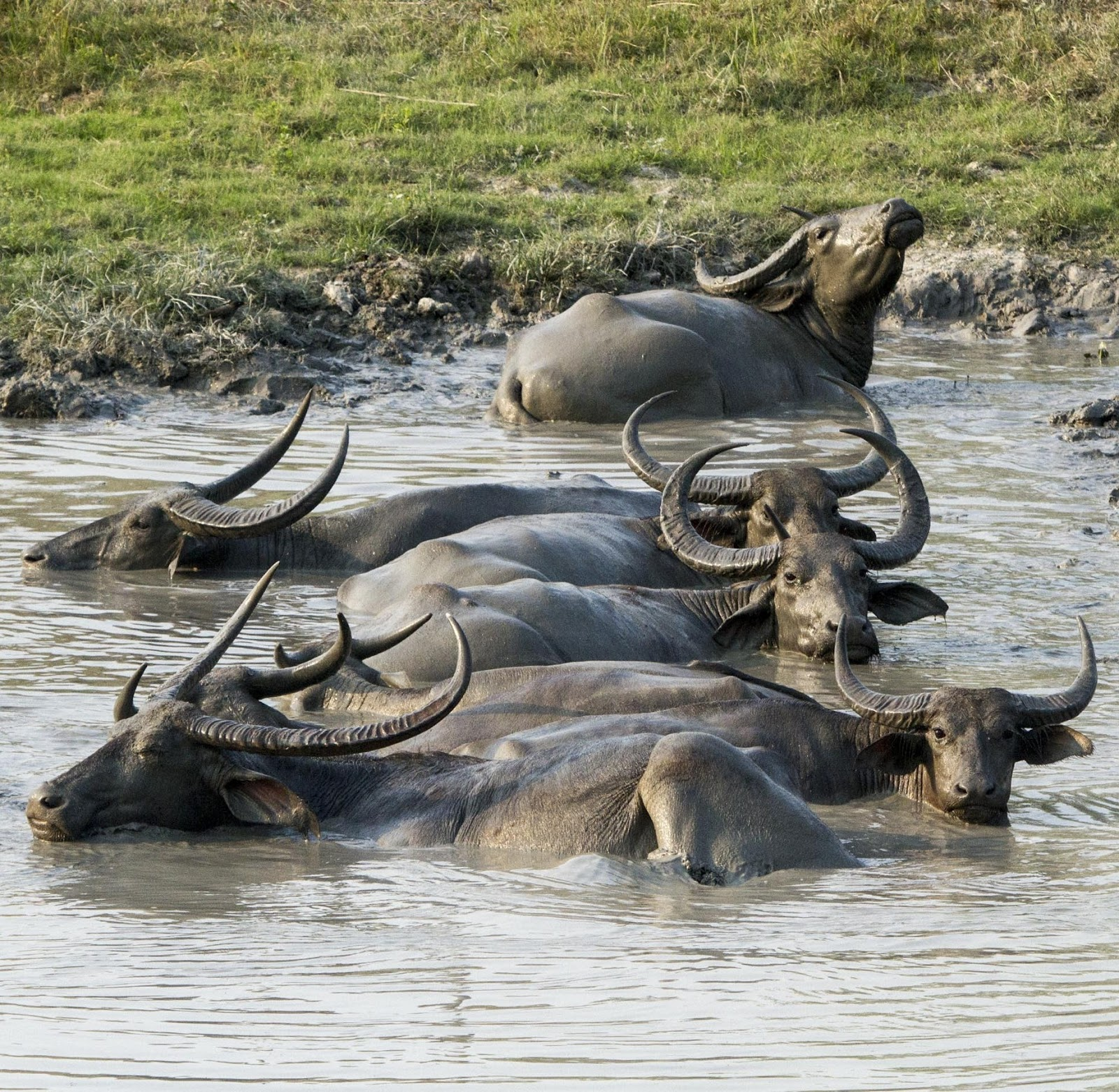 A photo of asiatic buffalo's