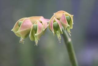 Pedlianthus