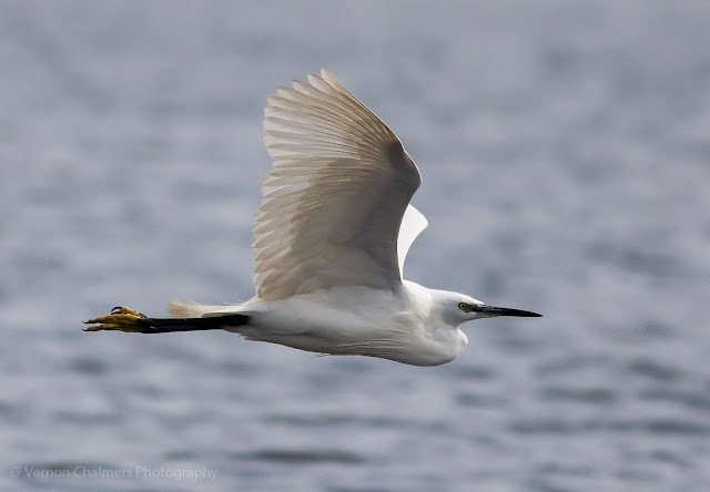 Little egret in flight over the Diep River Woodbridge Island - Low light photography