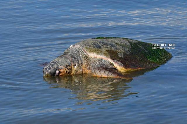 Μεγάλη θαλάσσια χελώνα εντοπίσθηκε νεκρή στο Ναύπλιο (βίντεο)