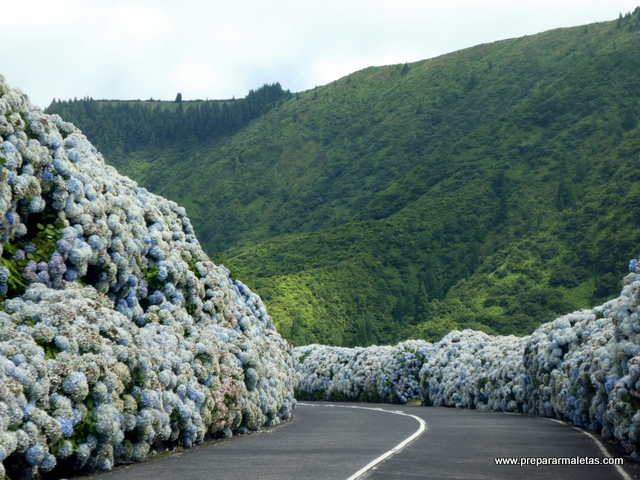 carreteras de hortensias en las Azores