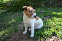 http://fineartfotografie.blogspot.de/2013/06/jack-russell-terrier-hundin.html