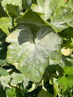 Powdery Mildew on Leaves