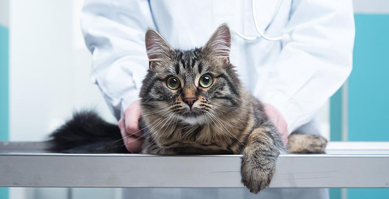 Mon chat a avalé quelque chose de toxique : que faire ?
