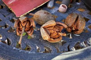 15 Health Benefits of Mahogany Fruit
