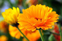 Benefits of Marigold.