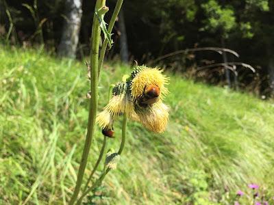 Cirsium erisithales – Yellow Thistle (Cardo zampa d'orso).