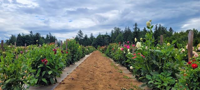 Field of beautiful dahlias