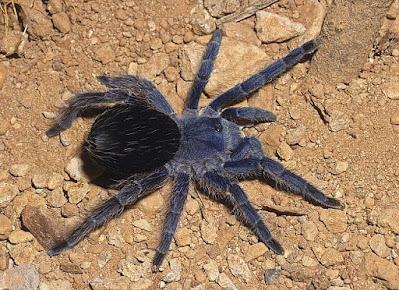 Araña pollito de collar (Eupalaestrus weijenberghi)