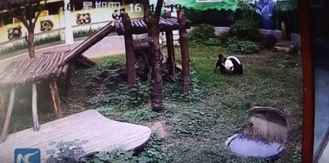 This Guy Jumped Into The Panda's Den To Say Hello, But Ends Up Getting Attacked By The Giant Panda!