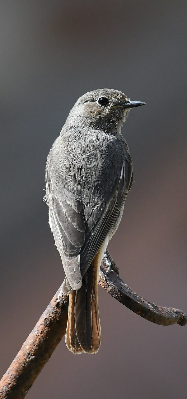 A cute grey bird.