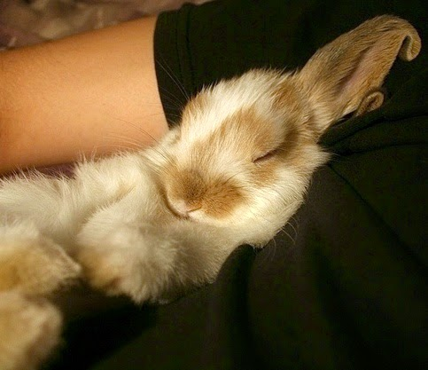 When he's relaxed and snoozing, your rabbit will either lie sideways, or on his stomach, back legs stretched out behind him. Some rabbits sleep upright. If you want to know if your bunny is taking a snooze while upright, check his ears.