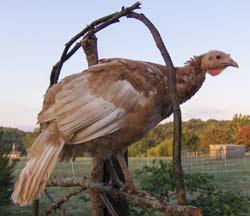 Are jersey buff turkeys domesticated?