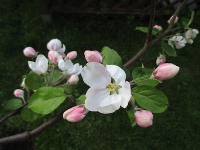 omenankukka, kesä