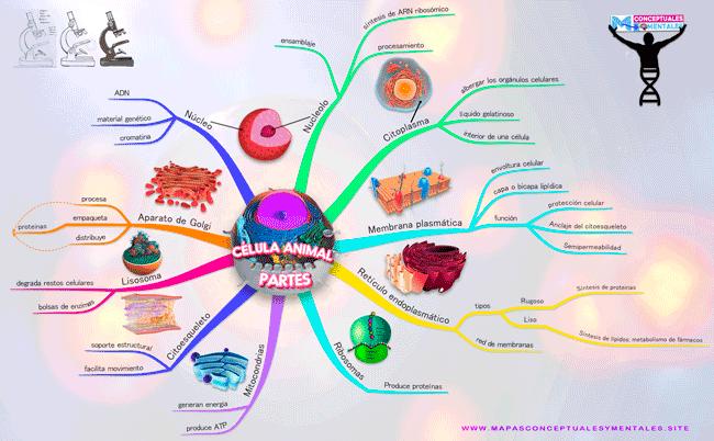 Mapa mental de la célula animal con todas sus partes (organelos)
