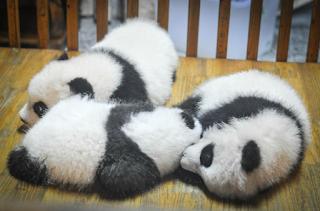 anak panda besar imut dan lucu